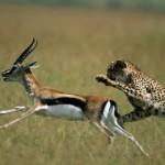 Cheetah wil jongere man